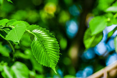 Green leaf. Tree nature blue sky Stock Photography