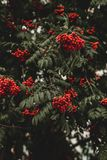 Green Leaf Tree With Red Fruits royalty free stock image