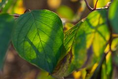Green leaf of the tree in the soft sunlight royalty free stock image