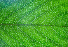 Green leaf of tree with streaks Royalty Free Stock Photography