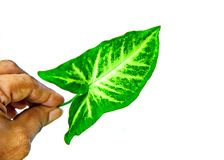 Green leaf tropical isolated on white background stock photography