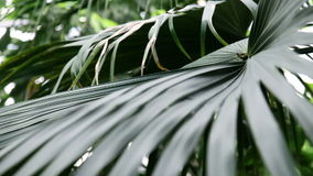 Green leaf of a tropical palm tree. Beautiful green leaf of a tropical palm tree stock footage