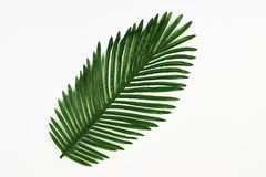 Green leaf of tropical palm tree isolated on white. Background, close-up Stock Image