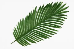 Green leaf of tropical palm tree isolated on white. Background, close-up Royalty Free Stock Image