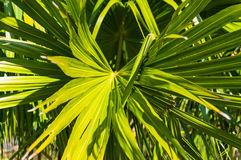 Green leaf of tropical plant. Rhapis palm leaves nature background Royalty Free Stock Photography