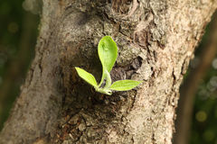 Green leaf on trunk of large tree Royalty Free Stock Image