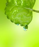 Green leaf with two water drops. On light green background Royalty Free Stock Image