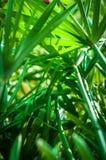 Green leaf Umbrella Plant Stock Images