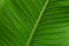 Green leaf. Green leaf under view, leaf background Royalty Free Stock Image