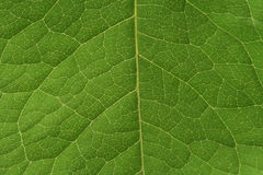 Green Leaf Vascular System Royalty Free Stock Photos