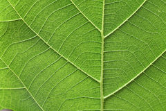 Green leaf vein Stock Photo