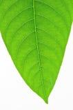 Green leaf vein Stock Photo