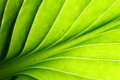 Green leaf vein Stock Photography
