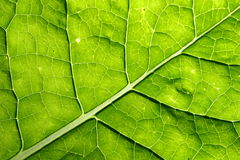 Green leaf vein Royalty Free Stock Photography