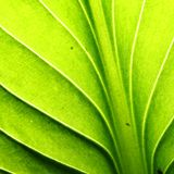 Green leaf vein Royalty Free Stock Photos