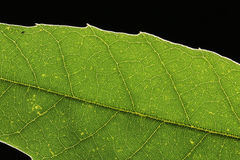 Green leaf vein on black Royalty Free Stock Photography