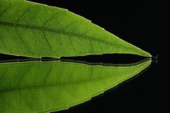 Green leaf vein on black background  2 Stock Photography