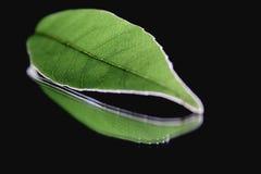 Green leaf vein on black background Royalty Free Stock Photo
