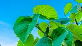 Green Leaf Vein Fiber Texture royalty free stock image