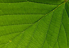 Green leaf vein structure Stock Photo