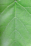 Green leaf vein texture background Stock Photos
