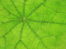 Green leaf veins 03 Royalty Free Stock Photography