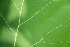Green leaf with veins. Stock Photos