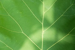 Green leaf with veins. Stock Image