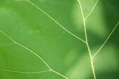Green leaf with veins. Green leaf with veins background texture or pattern Stock Image