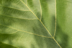 Green leaf with veins. Royalty Free Stock Photos
