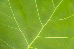 Green leaf with veins. Green leaf with veins background texture or pattern Stock Images