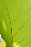 Green leaf with veins. Green leaf with veins background texture or pattern Royalty Free Stock Photography