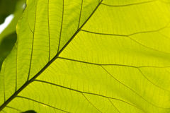 Green leaf with veins. Royalty Free Stock Images