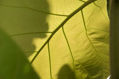 Green leaf with veins. Background texture or pattern Stock Photos