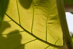 Green leaf with veins. Background texture or pattern Royalty Free Stock Photos
