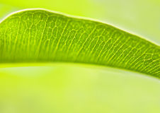 Green leaf with veins Stock Photo