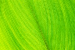 Green leaf with veins, close up Stock Photography