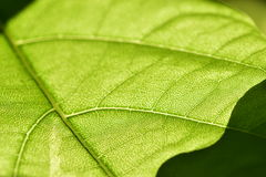 Green leaf with veins. Close-up of green leaf with veins Stock Photography