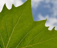Green Leaf: Veins Royalty Free Stock Photography