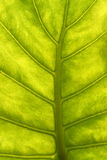 Green leaf with veins macro. Background Royalty Free Stock Images
