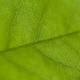 Green leaf with veins, macro Royalty Free Stock Photo
