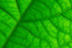 Green Leaf Veins Macro Closeup Royalty Free Stock Photo