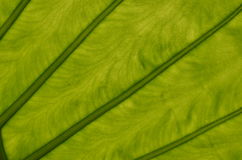 Green leaf veins. Veins texture of the big green plant leaf back lit by sunlight Royalty Free Stock Images