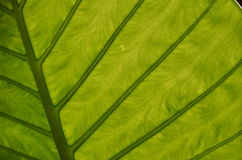Green leaf veins Royalty Free Stock Photography