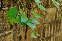 Green Leaf and vine on the old wall background Stock Photography