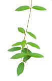 Green leaf vines isolated on white background, clipping path inc Stock Image