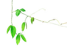 Green leaf vines isolated on white background, clipping path inc Stock Photos