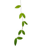Green leaf vines isolated on white background, clipping path inc. Luded Stock Image