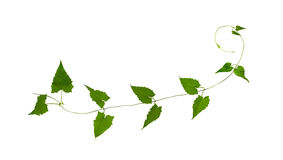 Green leaf vines isolated on white background, clipping path included. Green leaf vines isolated on white background, clipping path Royalty Free Stock Photography