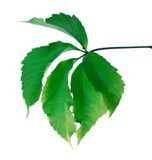 Green leaf (Virginia creeper leaf) Stock Photography